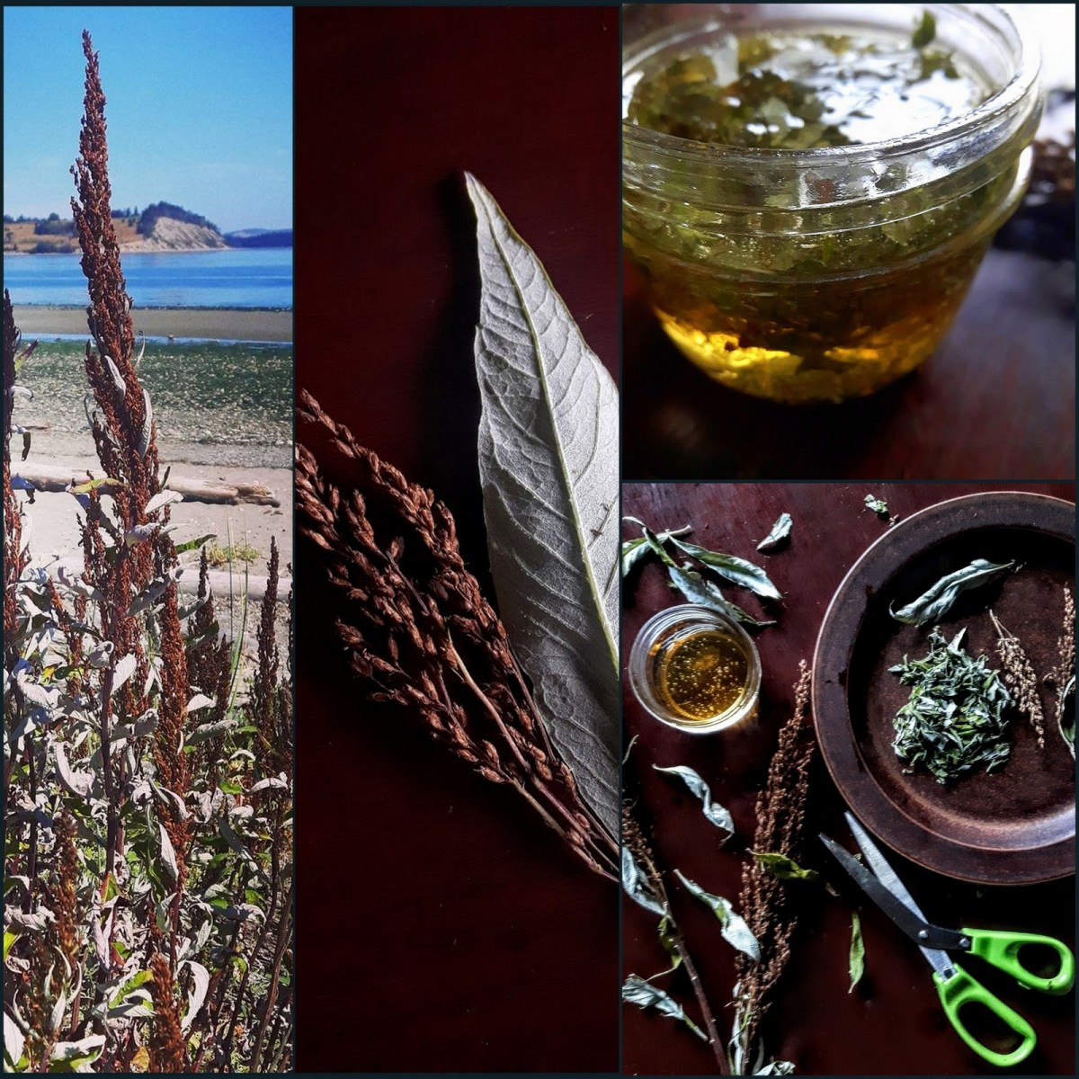 Foraging & Cooking with Coastal Mugwort: A Salt, A Honey & Vinegar