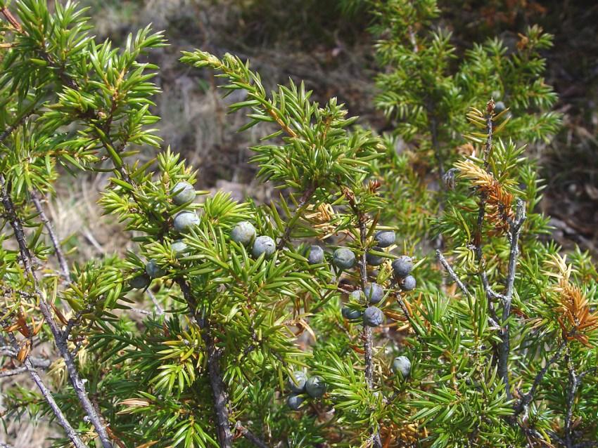 juniperus-communis-fr-dcameron.jpg
