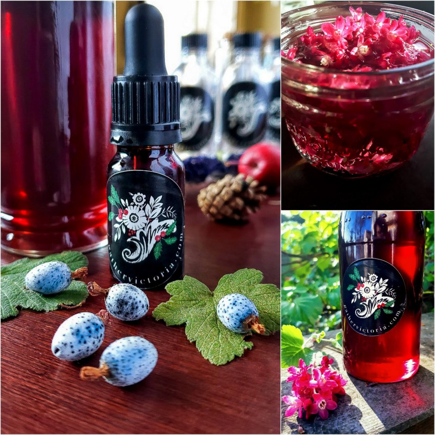 Drinking in Spring Blossoms: Red Flowering Currant Elixir – Gather