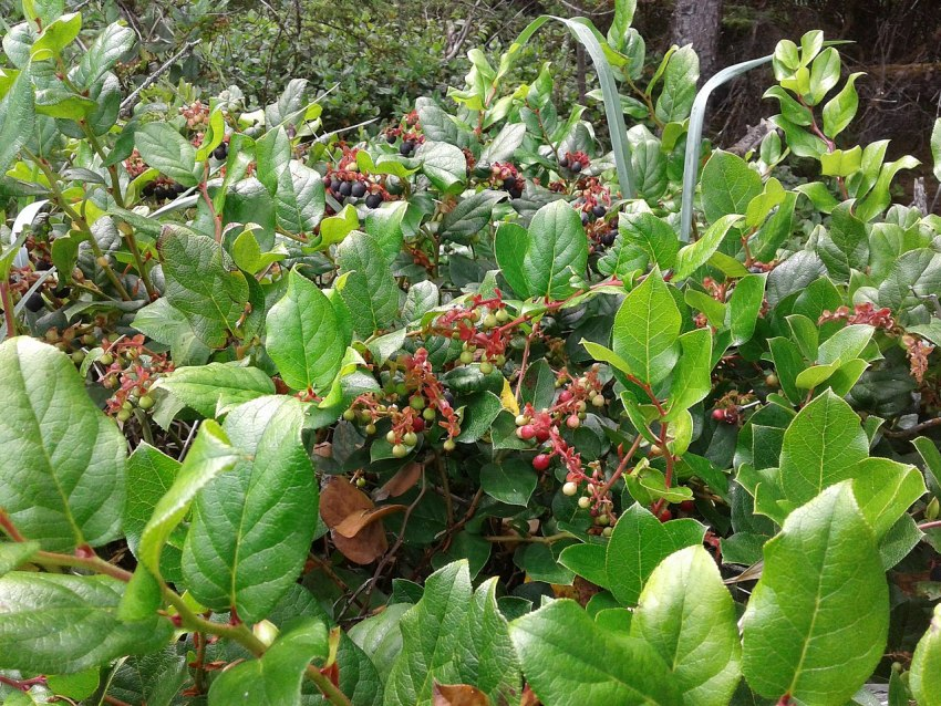 1280px-Salal_Berries_Ripening