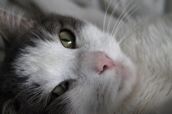 por que gatos ronronam