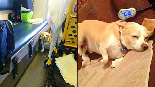 buddy beagle ambulancia