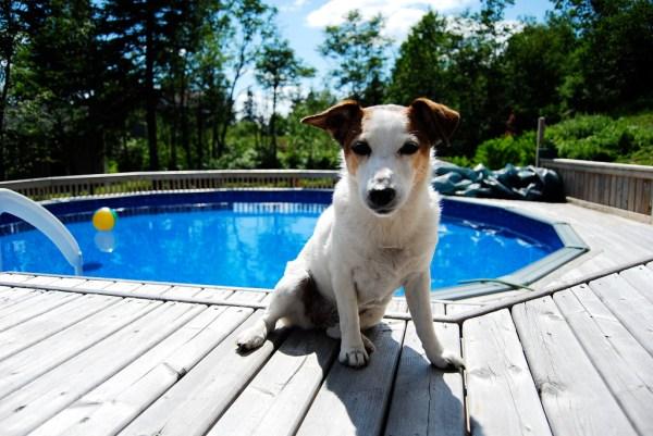 cachorros e piscina segurança