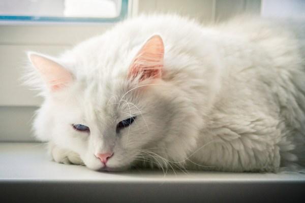 gatos brancos olhos azuis surdos