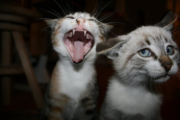 gato dominante
