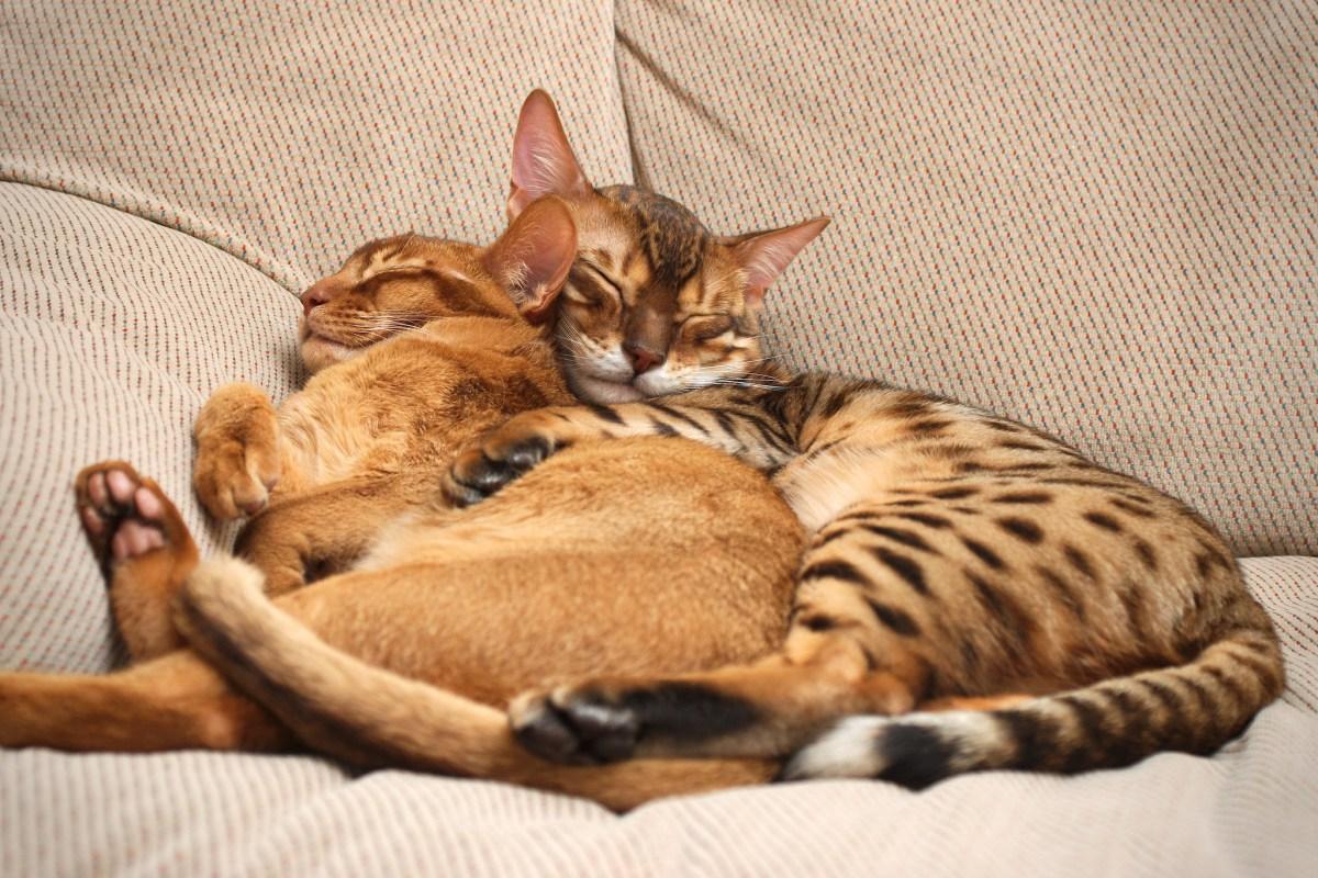 Como apresentar ou reapresentar dois gatos