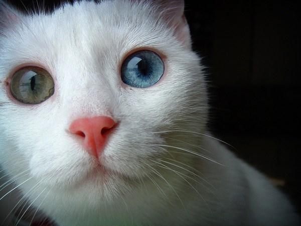 gatos olhos impares heterocromia 2