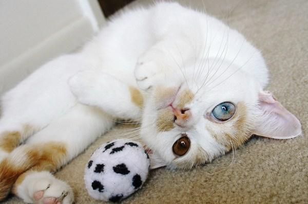 gatos olhos impares heterocromia