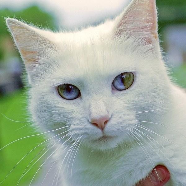 olhos-impares-heterocromia felina