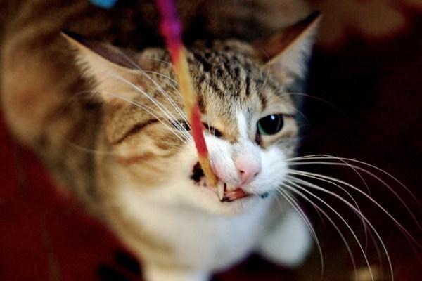 gato brincar morder atacar