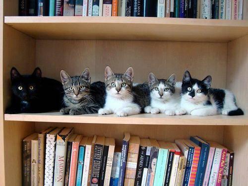 gatos-estante-de-livros