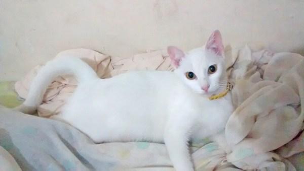 princesa-leia-adocao-gatos-gatinho-branco