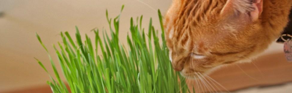 Como plantar grama do trigo para o seu gato
