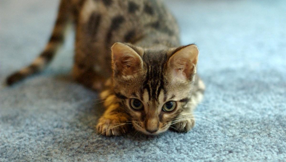 Por que os gatos balançam o bumbum antes de atacar?