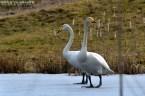 Ziemeļu gulbis. Cygnus cygnus. Whooper swan.