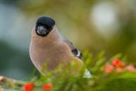 Svilpis. Pyrrhula pyrrhula. Bullfinch.