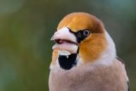 Dižknābis. Coccothraustes coccothraustes. Hawfinch.