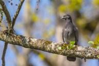 Mājas balodis. Columba livia. Feral pigeon.