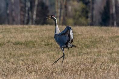 Dzērve. Grus grus. Common crane.