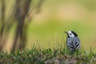 Baltā cielava. Motacilla alba. White wagtail.