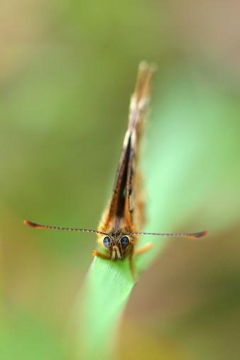Parastais pļavraibenis. Melitaea athalia. Heath Fritillary.