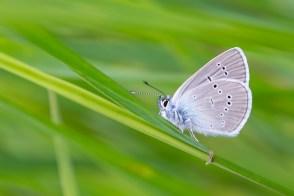 Meža zilenītis. Cyaniris semiargus. Mazarine Blue.