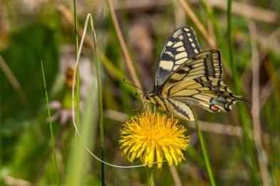 Čemurziežu dižtauriņš. Papilio machaon. Swallowtail.