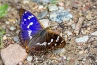 Apšu zaigraibenis. Apatura ilia. Lesser Purple Emperor.