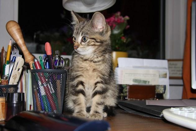 El gatito que se cría entre humanos desarrolla su confianza desde temprano. Foto: Gisela Thiedmann