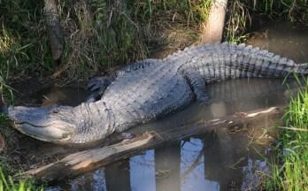 Captain Crunch - Alligator Alley