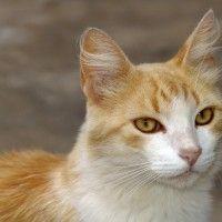 L-Lisina para Gatos: Efectos secundarios