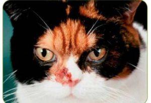 Infecciones nasales en los gatos