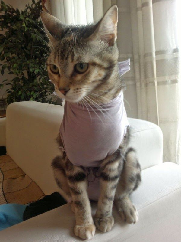 Cuidar un gato Recién Operado