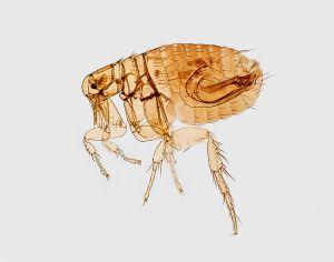 Pulga. alergia a las pulgas