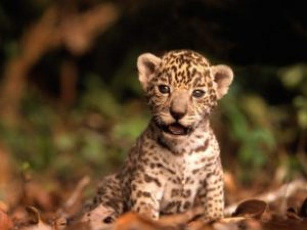 cucciolo-giaguaro-brasile