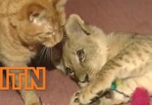 Gatto e cucciolo di leone giocano