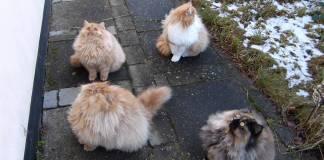 Gara di salti tra gatti persiani