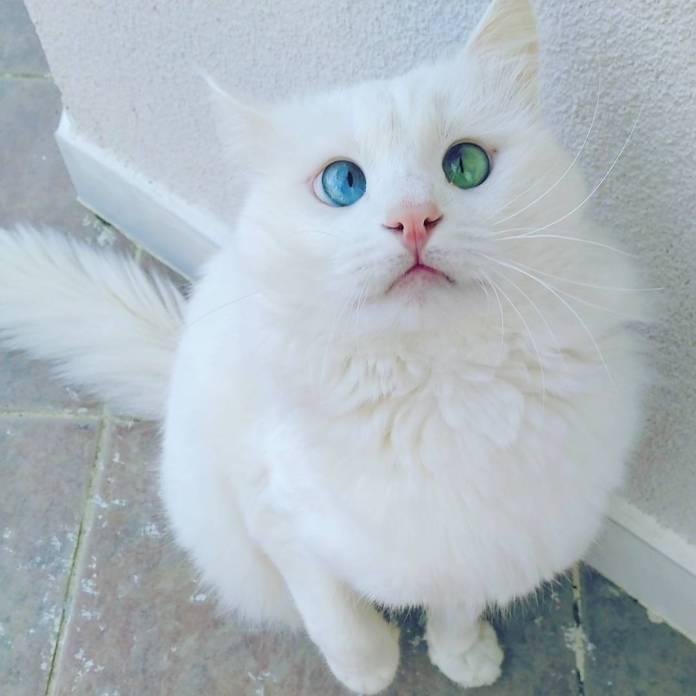 Alos, gatto con occhi bicolor