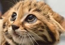 gatti rari