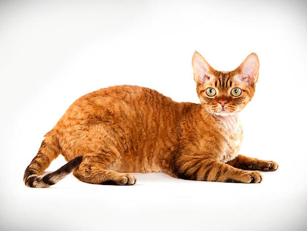 "orange-devon-rex-cat-breed ""srcset ="" http://purrfectcatbreeds.com/wp- contenuto / upload / 2016/06 / orange-devon-rex-cat-breed.jpg 622w, http://purrfectcatbreeds.com/wp-content/uploads/2016/06/orange-devon-rex-cat-breed-300x225 .jpg 300w, http://purrfectcatbreeds.com/wp-content/uploads/2016/06/orange-devon-rex-cat-breed-767x576.jpg 767w, http://purrfectcatbreeds.com/wp-content/uploads /2016/06/orange-devon-rex-cat-breed-1024x769.jpg 1024w, http://purrfectcatbreeds.com/wp-content/uploads/2016/06/orange-devon-rex-cat-breed-765x574. jpg 765w ""sizes ="" (larghezza massima: 622 px) 100vw, 622 px"
