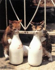 gato bebiendo leche 3