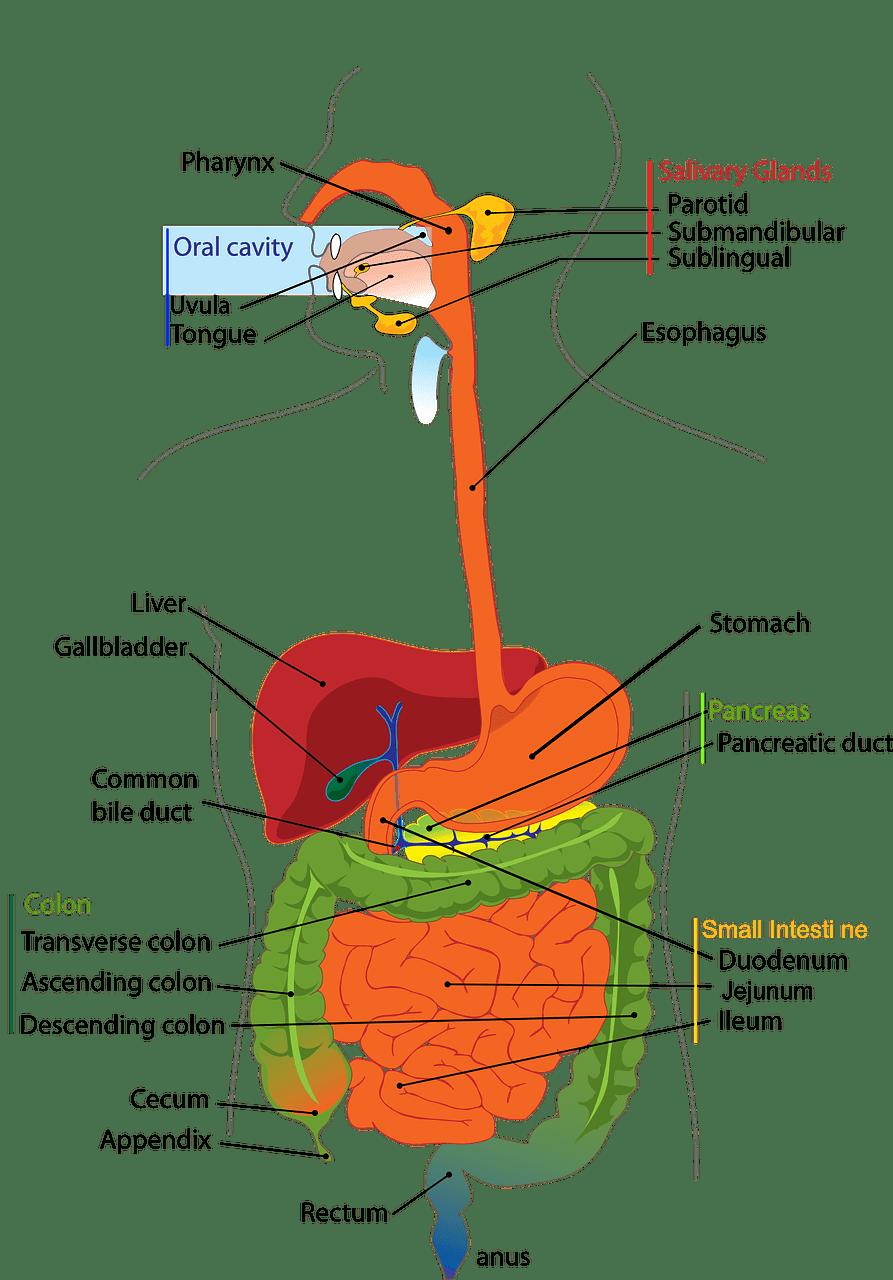 digestive, system, human