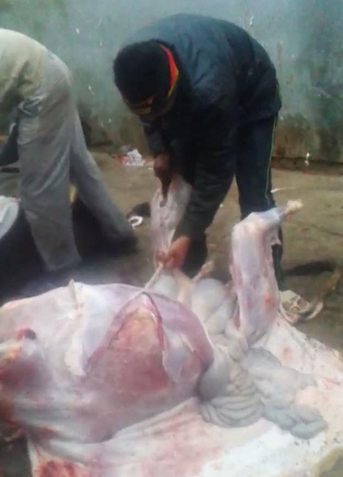 कस्बा सैदपुर में गाय काटने के बाद खाल उतारता एक हत्यारा।