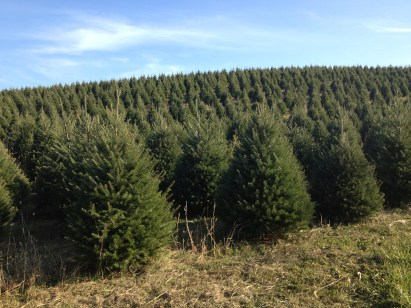 Christmas Trees grown on our lands