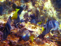 April 22 Purple Tangs at Los Islotes; picture taken by Captain Patsee Ober