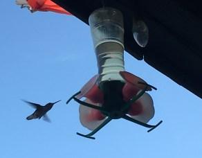August 9 Hummingbird at the Meldrum Bay Inn