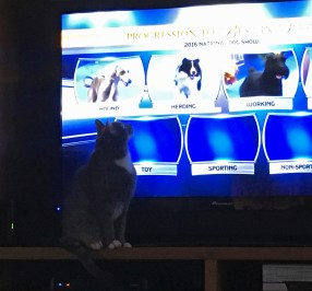 November 24 Squeaky watching the National Dog Show