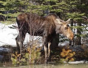 April 22 Moose in Algonquin Park