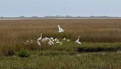 Egret flock at Blue Water RV Resort