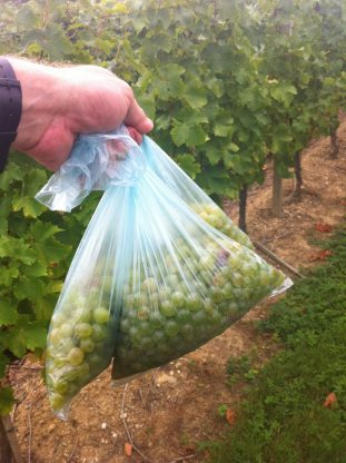 As harvest approaches, we taste the grapes and take samples.